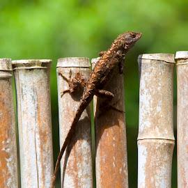 Lizard by D. Bruce Gammie - Animals Reptiles ( makawao, critter, vacation, maui, lizard )