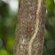 Cicada (D. feae)