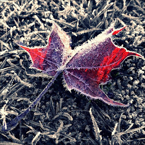 Day 324 by Todd Reynolds - Nature Up Close Leaves & Grasses ( red, fall, bw, frost, leaf,  )