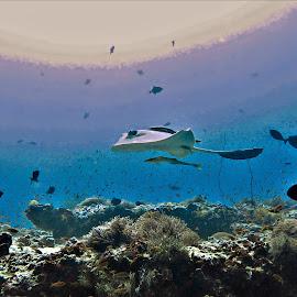 by Phil Bear - Animals Fish ( reef, coral, ray, coral reef, stingray, maldives )