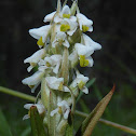 Soldier Orchid