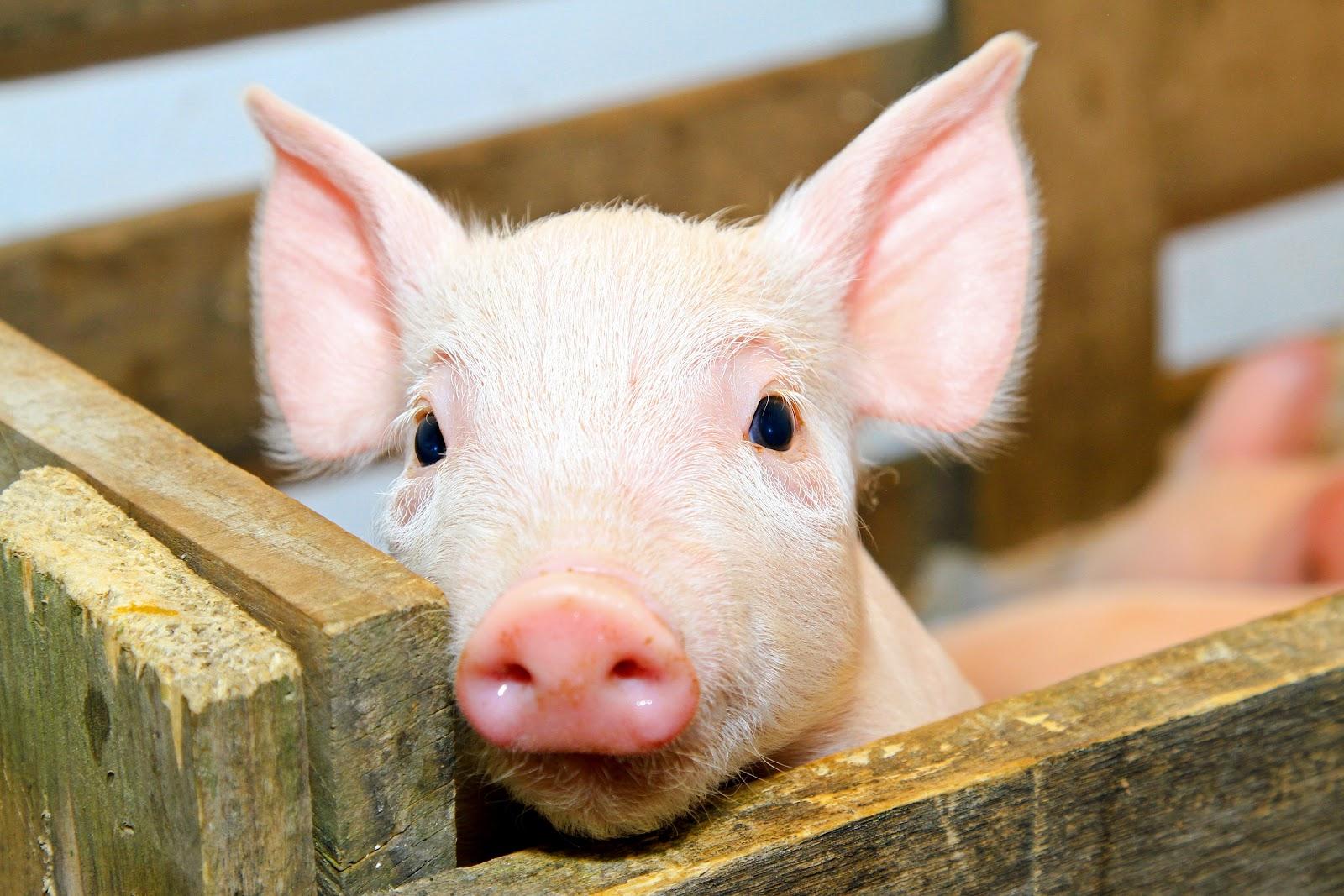 Pig-baby.jpg
