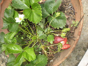 Photo: Some strawberries our family has.