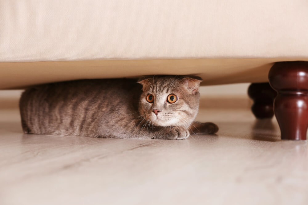 cat hiding under the sofa