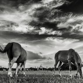 stallions on the heart of by Soumya Mukherjee - Animals Horses ( # horse, #kolkata, #cloud, #maidan, #victoria memorial hall, #summer )