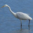 Garceta grande (Great egret)