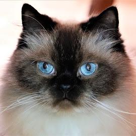 Jack by Linda    L Tatler - Animals - Cats Portraits ( pets, cats, feline, himalayan, animals,  )