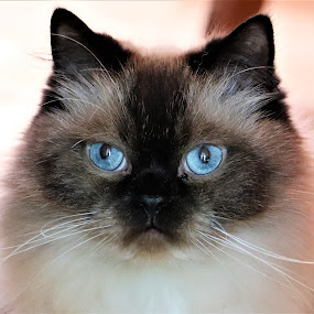 Jack by Linda    L Tatler - Animals - Cats Portraits ( pets, cats, feline, himalayan, animals,  )