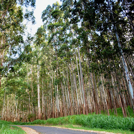 Big Island Eucalyptus by Beth Bowman - Landscapes Forests (  )