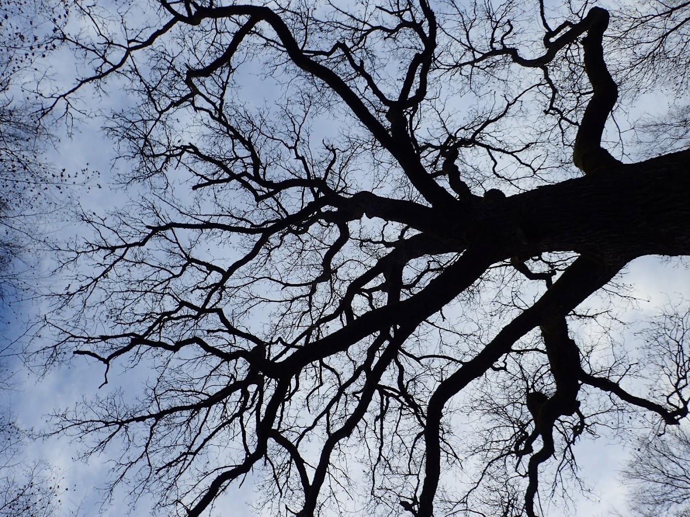 Un chêne bicentenaire dans la forêt de la Hardt