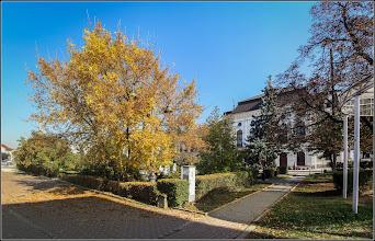 Photo: Fraxinus excelsior 'Aurea' -)  din Turda, Piata 1 Decembrie 1918 - 2018.10.11