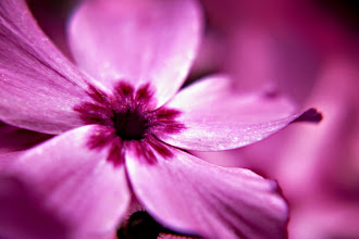Photo: Dwarf Phlox - prints/cards available here - http://www.inspiraimage.com/index.php/gallery/flowers/218-dwarf-phlox
