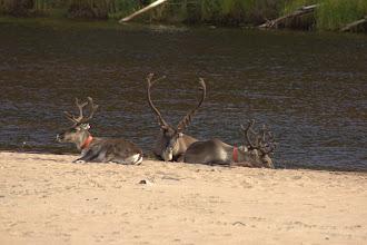 Photo: Reindeer taking a break along the Oulanka River