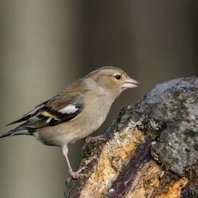 Chaffinch by Jim Keating - Animals Birds ( chaffinch, farmland, woodland, small bird, timid,  )