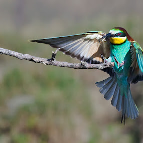 European Bee-eater with landing gear down by Hennie Cilliers - Animals Birds ( european bee-eater, animal, motion, animals in motion, pwc76 )
