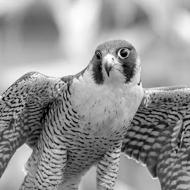 Peregrine Falcon by Debbie Quick - Black & White Animals ( debbie quick, outdoor photography, nature up close, nature lovers, raptor nature, natures best shots, debs creative images, outdoor magazine, wildlife photography, birds of prey, outdoors, animal photography, bird photography, bird, animal, bird lovers, black and white, wild, wildlife )