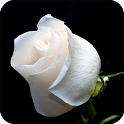 Rose White HD Live Wallpaper icon