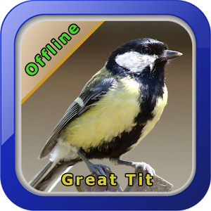 Chirping Great Tit