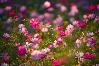 Photo: Here's another shot for my Best of Japan Nature album (http://mbp.ac/gpbjn).  And it's also #floralfriday curated by +Tamara Pruessner.  #photography #japan #cosmos #flower #flowerphotography