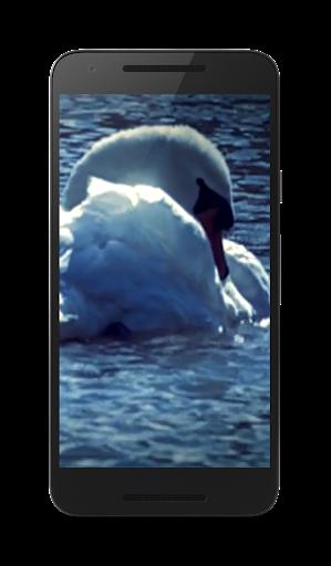 白鳥ビデオ壁紙