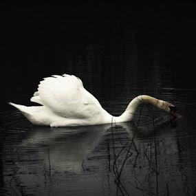 White swan by Nat Bolfan-Stosic - Animals Birds ( bird, white, swan, lake, black )