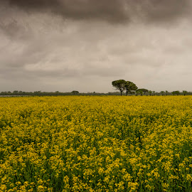 Rape field before rain by Ana France - Landscapes Prairies, Meadows & Fields