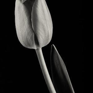 Tulip Pink B&W-2.jpg
