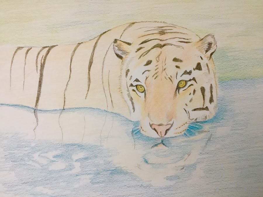 Tiger by Anika McFarland - Drawing All Drawing ( wild animal, colored pencil, tiger drawing, tiger, pencil drawing, animal )