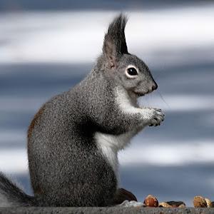 Abert's Squirrel004c.jpg