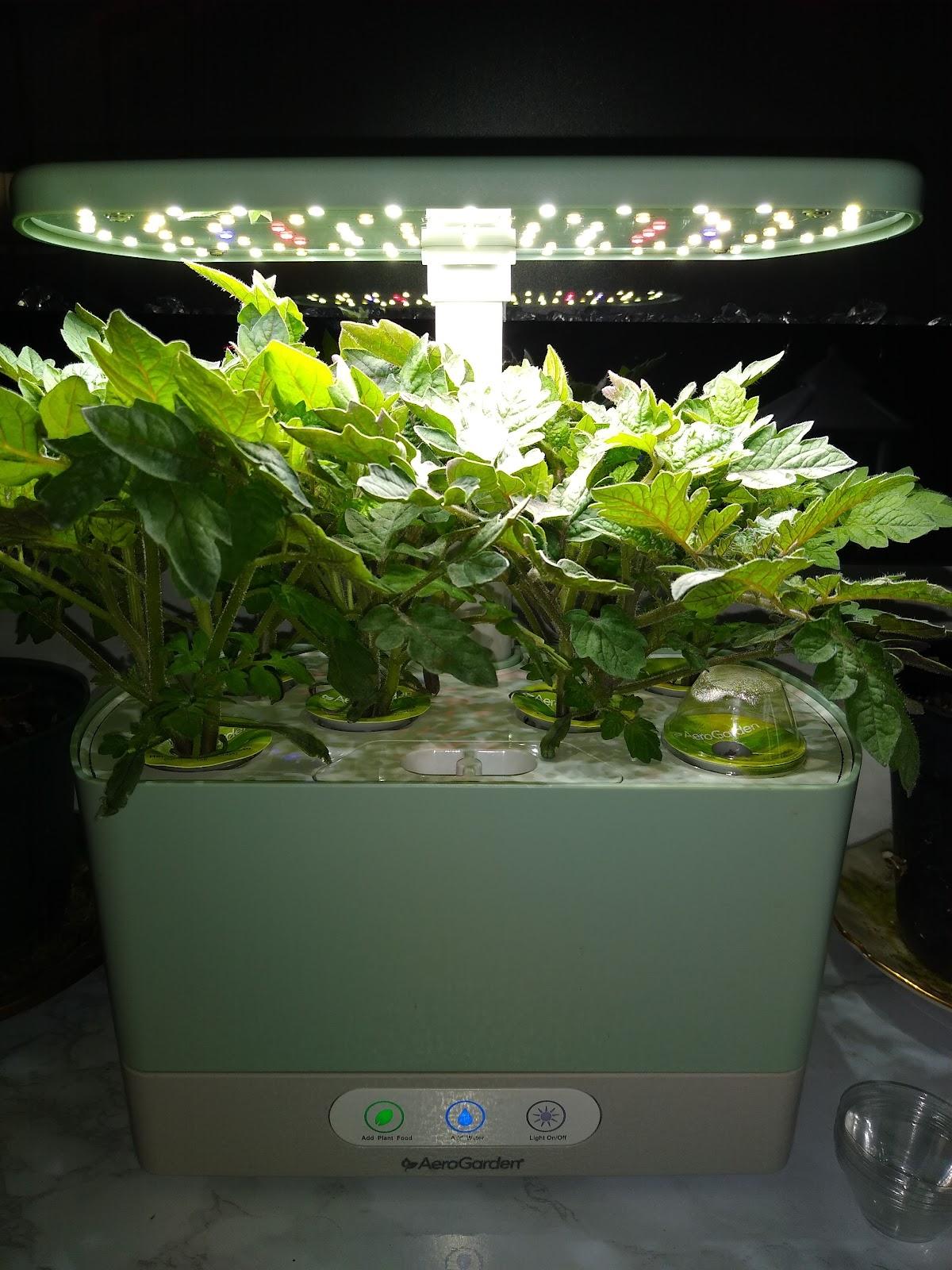 hydroponic tomat plants