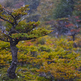 Haiku by Lucian Constantin - Nature Up Close Trees & Bushes ( tree, autumn, patagonia, snow, transition, forest )