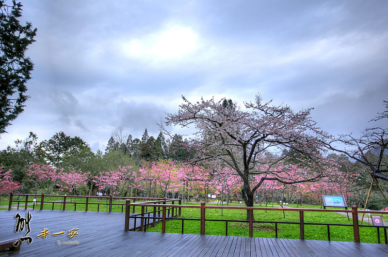 阿里山國家森林遊樂區櫻花季|阿里山櫻王