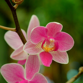 by Steve Hunt - Flowers Flowers in the Wild ( orchid, tropical, pink )