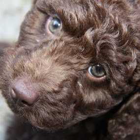 Belle my Labradoodle  by David Morrison - Animals - Dogs Portraits ( belle, labradoodle,  )