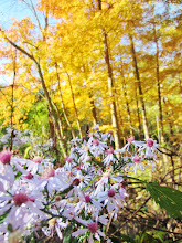 Photo: Little purple flowers underneath golden trees at Hills and Dales Metropark in Dayton, Ohio.