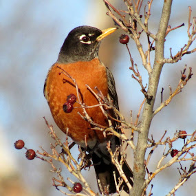 RED ROBIN by Cynthia Dodd - Novices Only Wildlife ( robin, animals, nature, outdoors, birds,  )