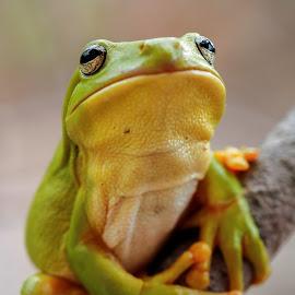 Friendly frog pose by Clarissa Human - Animals Amphibians ( frog, green tree frog, australian wildlife, green frog, frogs,  )