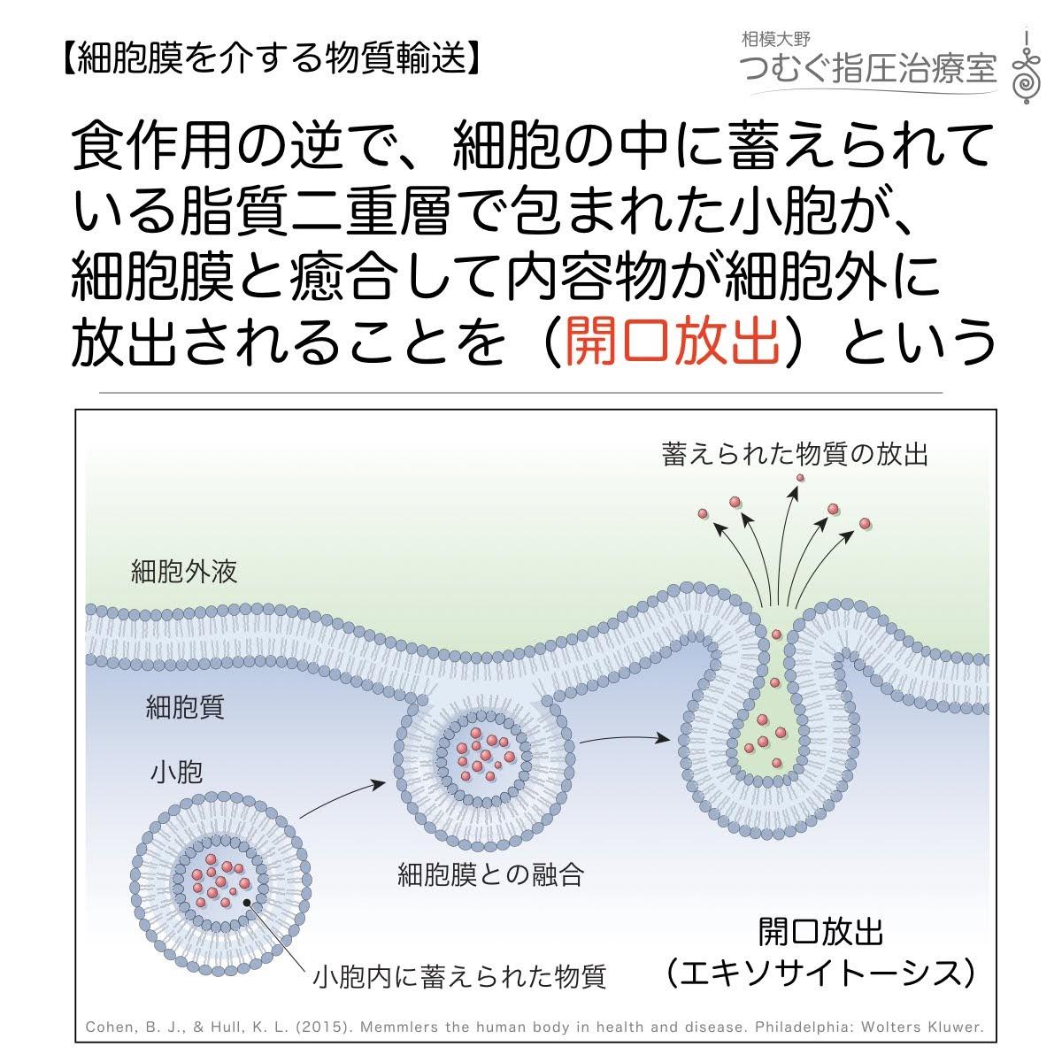 開口放出:細胞内の小胞が細胞膜と癒合し物質が放出