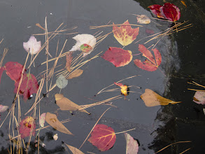 Photo: Project 365 Day 304-Fall Colors In Water  Fallen leaves and pine straw float in the water of a fountain.