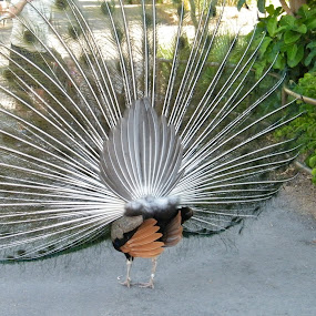 PEACOCK DISPLAYING by Donna Probasco - Novices Only Wildlife (  )