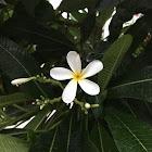 Singapore Graveyard Flower