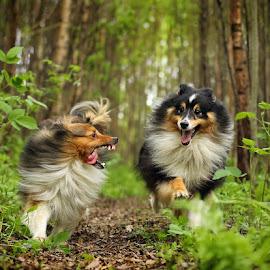 by Jane Bjerkli - Animals - Dogs Playing (  )