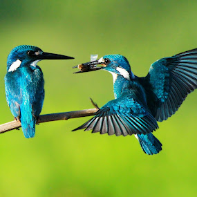 SKF ... by Andi Albayquni - Animals Birds