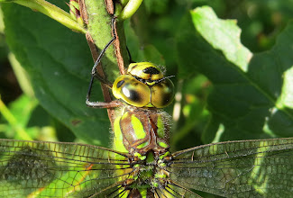 """Photo: Southern Hawker dragonfly, female(Aeshna cyanea) Hi guys, I am back home after my trip to England. Can you believe that I see the male/s of this species often around my pond, but they have never stopped flying ever, except for those 10 seconds they hover in front of me going """"ya boo sucks, you'll never get a photo of me"""" just to goad me :-) Yet my first day in England and here's a female who landed on a plant in a hedgerow in front of me and didn't move whilst I took umpteen photos and some right up close to her head. Those eyes are practically see through which I found really amazing! They have spectacular colouring both male and female but I just chose this close up one to post this time.  Hope you have all been behaving yourselves whilst I've been away and I'll endeavour to get back to the curating tomorrow so you can take a long earned break +Kim Sinclair- thank you for holding the fort and I hope it hasn't been too busy.  For #buggyfriday +Buggy Friday Curators +Ray Bilcliff +Dorothy Pugh +Victoria Etna and #hqspmacro +HQSP Macro curated by +Vinod Krishnamoorthy, +Sandra Deichmann +Suzi Harr and +Chandro Ji and"""