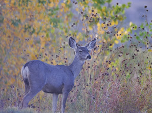 Photo: Whitetail deer grazing along the road