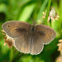Male Meadow Brown Butterfly