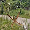 Oval Saint Andrew's Cross Spider