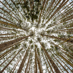 Reaching toward the heavens. by Jason Lemley - Landscapes Forests ( clouds, pines, fisheye, sky, trees )