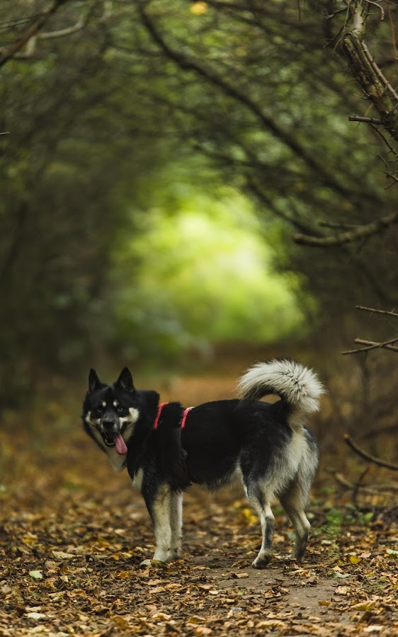 Stop Taking Photographs and Take Me For A Walk! by Jamie Ledwith - Animals - Dogs Portraits ( autumn, fall, husky, dof, dog, walk, woods )