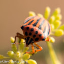 Mediterranean Striped Shield Bug